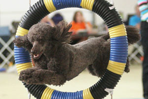 Poodle jumping through tire
