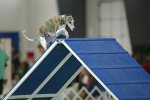 Italian greyhound running over a-frame
