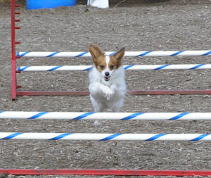 Pomeranian dog jumping over obstacle
