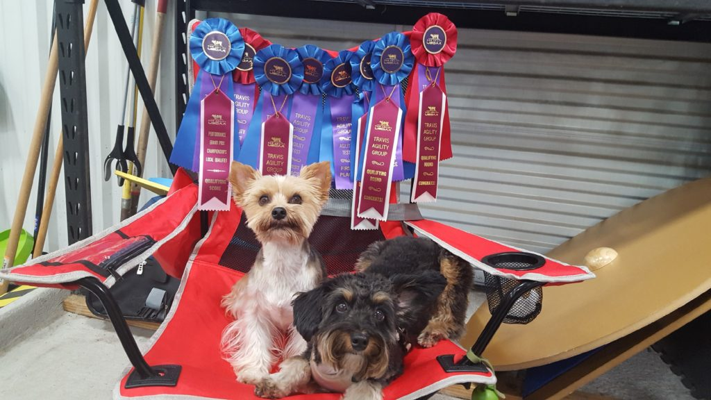 Rosie and Shadow showing off all of their ribbons
