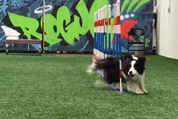 Border collie runs through the weave poles