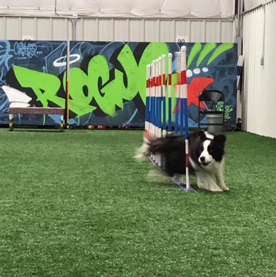 Border collie runs through the weave poles