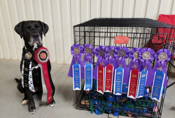"""Big"" Luna won the High in Trial Novice Handler award. Luna shows off all of her ribbons."